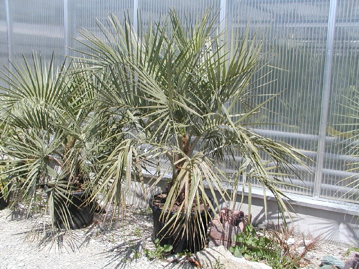 indoor palms