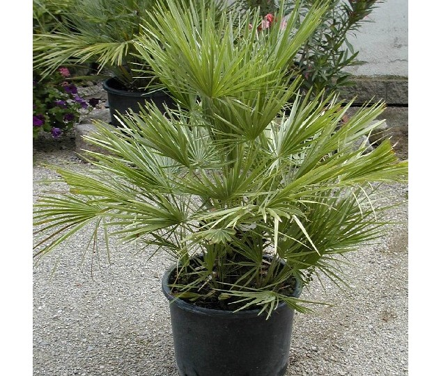 palmen palmen alle arten frosttolerante palmen. Black Bedroom Furniture Sets. Home Design Ideas