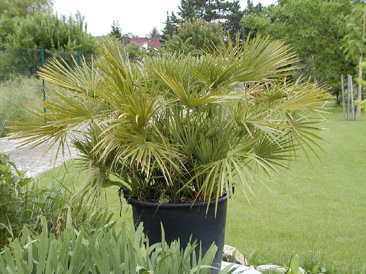 chamaerops humilis europ ische zwergpalme 130cm palmen alle arten palmen chamaerops. Black Bedroom Furniture Sets. Home Design Ideas