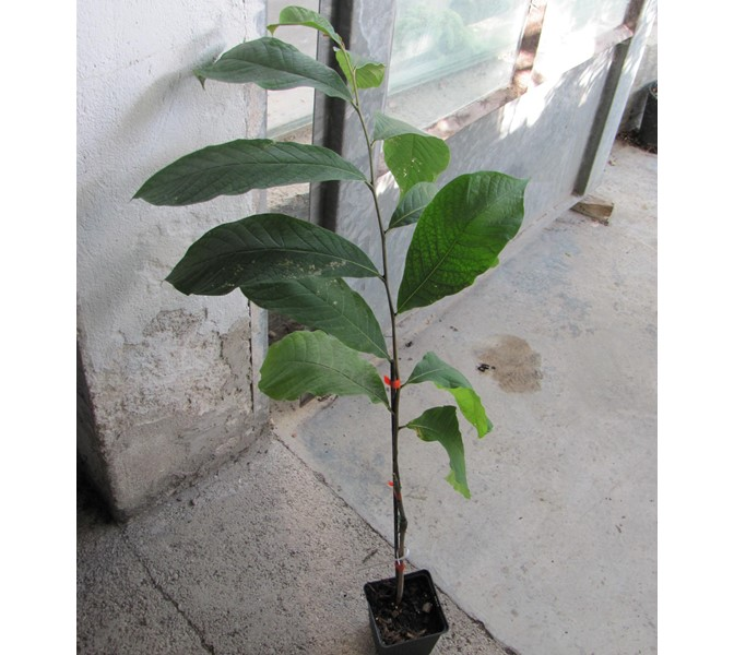 "Asimina triloba veredelt ""Mary Foos Jones"" 60/70cm"