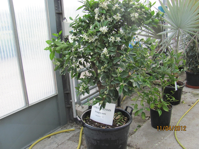 Citrus sinensis - Orange tree 180/200cm
