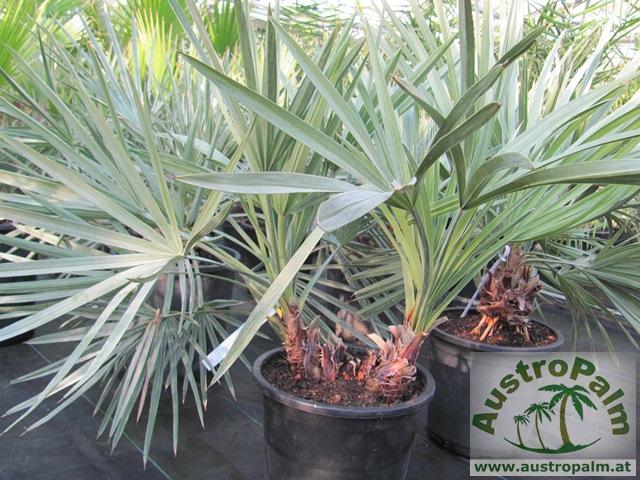 ausgepflanzte palmen in deutschland