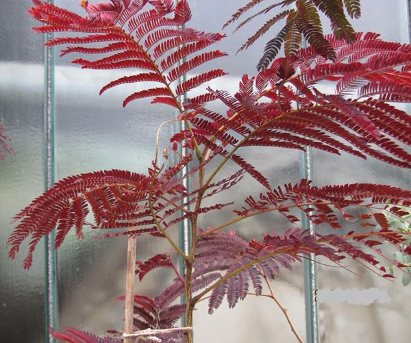 Albizia julibrissin Summer chocolate 140cm