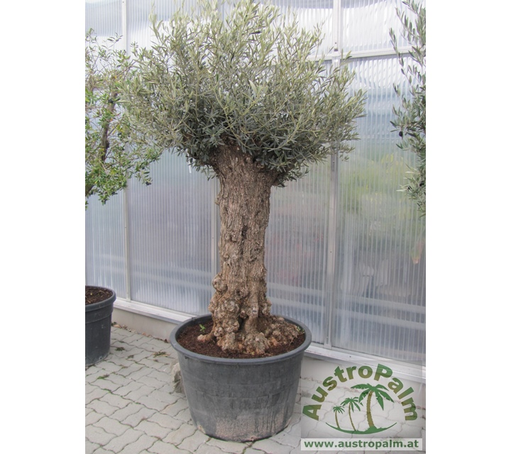 Olea europae - Olive tree 220-240cm - fat trunk