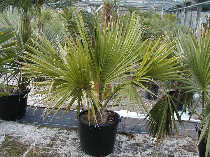 Sabal minor 100/120cm