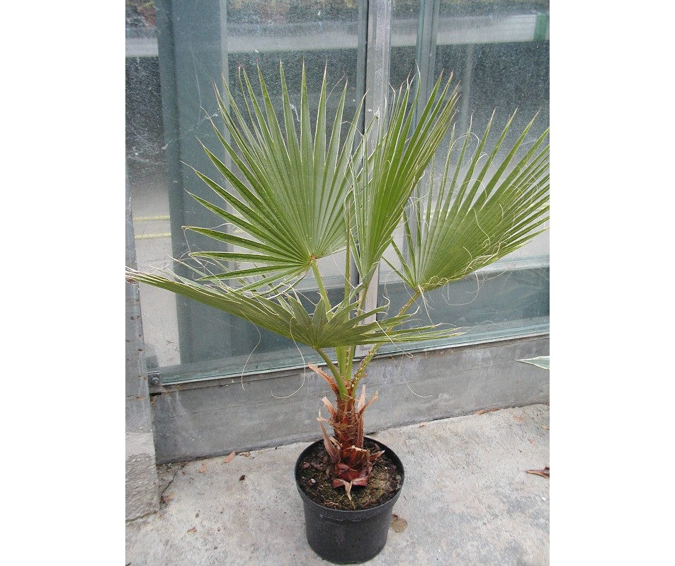 Washingtonia robusta 140cm - BIO