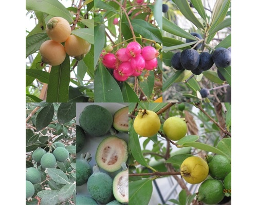 exotic fruit plants