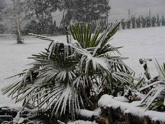 cold hardy palms